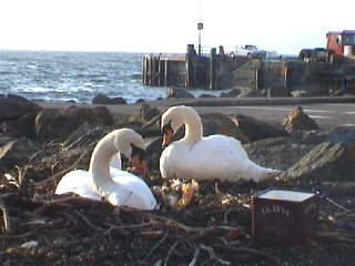 Swans nesting by the  side of the promenade